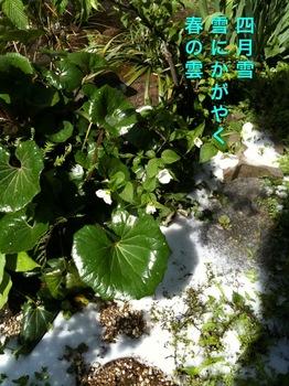 山吹雪.JPG