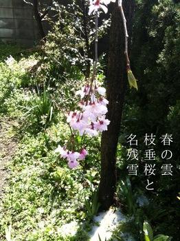 枝垂桜雪.JPG